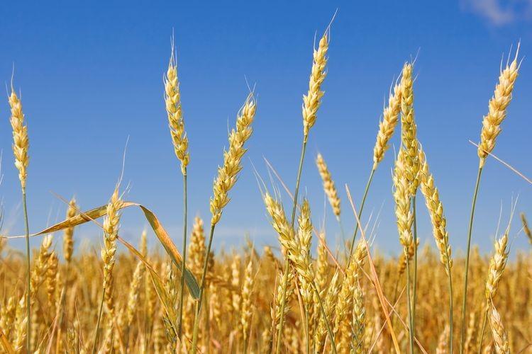 El saldo exportable total de trigo pan 2014/15 habilitado hasta el momento por el ministro de Economía Axel Kicillof es de 4,50 millones de toneladas, mientras que el Ministerio de Agricultura (Minagri) estima que el mismo es de 7,20 millones de toneladas. Foto: Agencia