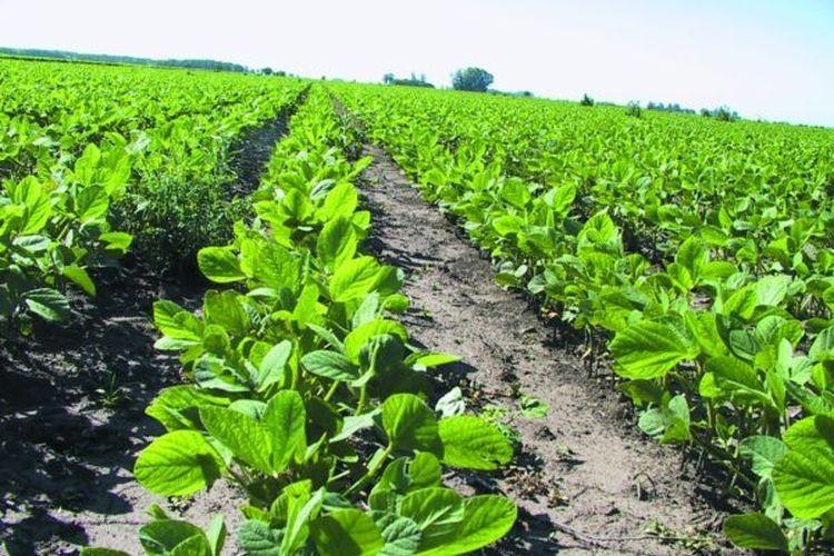 Con soja de primera, ya se sembraron unas 873.000 hectáreas, sobre una intención de siembra similar a la del año anterior (900.000 hectáreas). Foto: Archivo