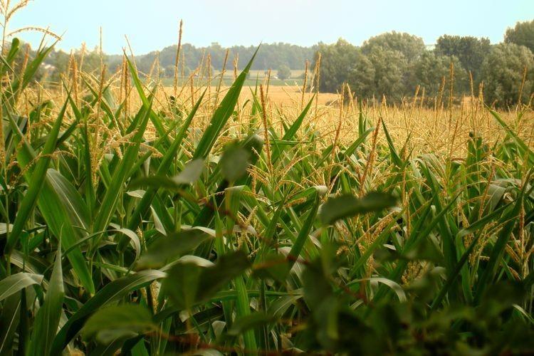 """""""Por ahora, los números de intención en la región indican que el maíz le quitaría a la reina 60 mil ha. Pero el final sigue abierto y las lluvias tendrán la última palabra"""", señaló la GEA. Foto: Archivo"""