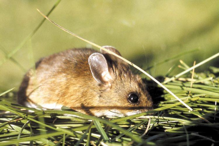 Para prevenir esta la enfermedad y otras transmitidas por roedores, es importante evitar el contacto directo o la convivencia con los mismos. Foto: Archivo